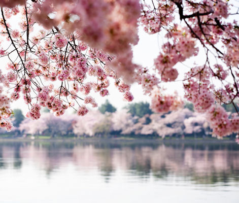 Washington Cherry Blossom
